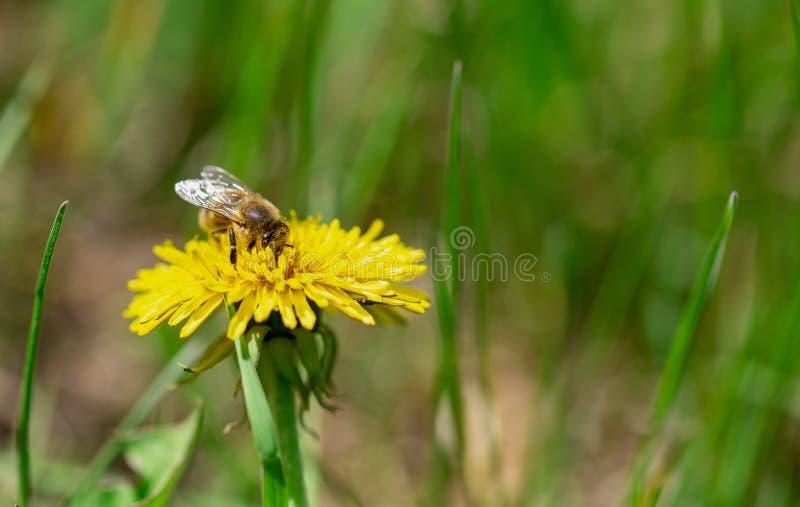 L'abeille de miel pollinisent le pr? jaune de fleur au printemps photo stock