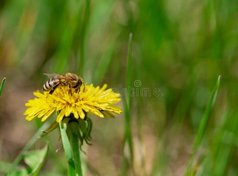 L'abeille de miel pollinisent le pr? jaune de fleur au printemps image stock