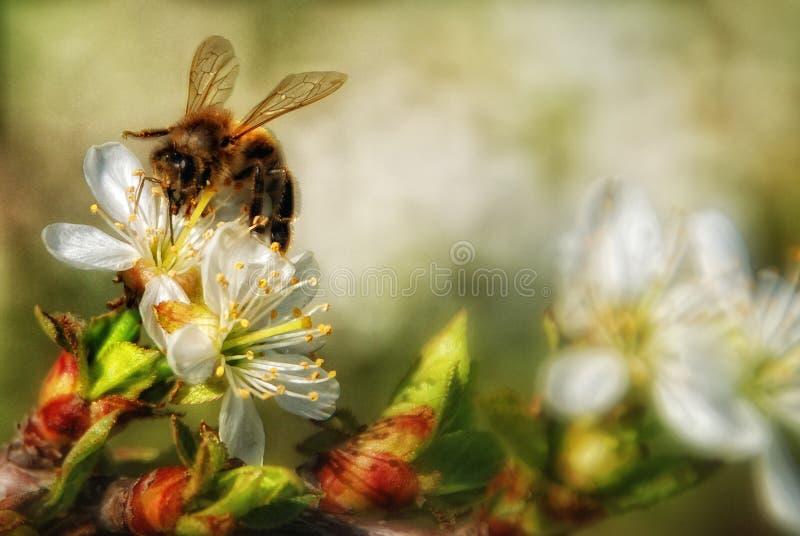 L'abeille de miel rassemble le nectar de fleur photos stock