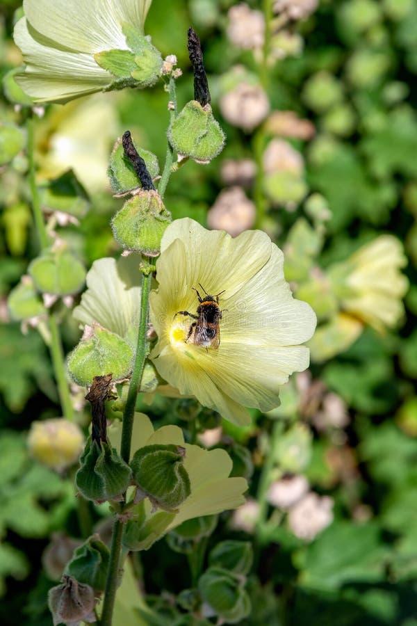 L'abeille de miel rassemblent le nectar de la fleur jaune pâle de la floraison photographie stock