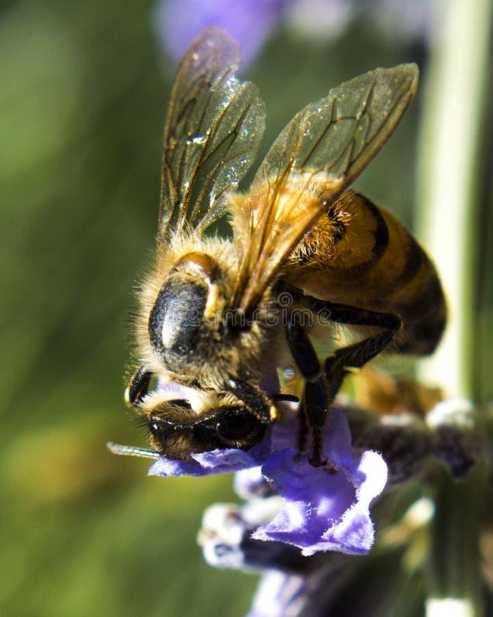 L'abeille en fleur images stock