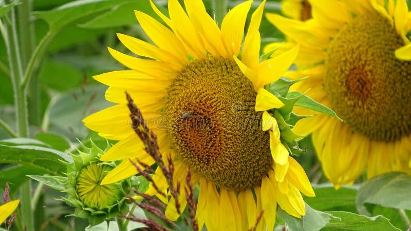 l'abeille est travail photo stock