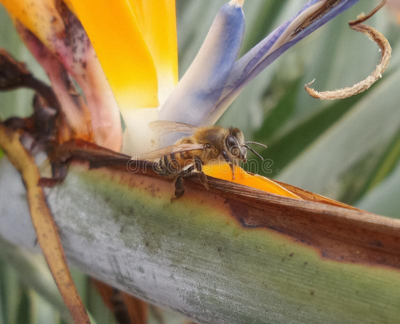 l'abeille logée dans une fleur colorée a appelé les reginae de strelitzia ou l'oiseau du paradis photos libres de droits