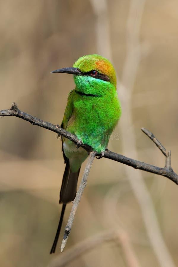 l'Abeille-mangeur vert. images libres de droits