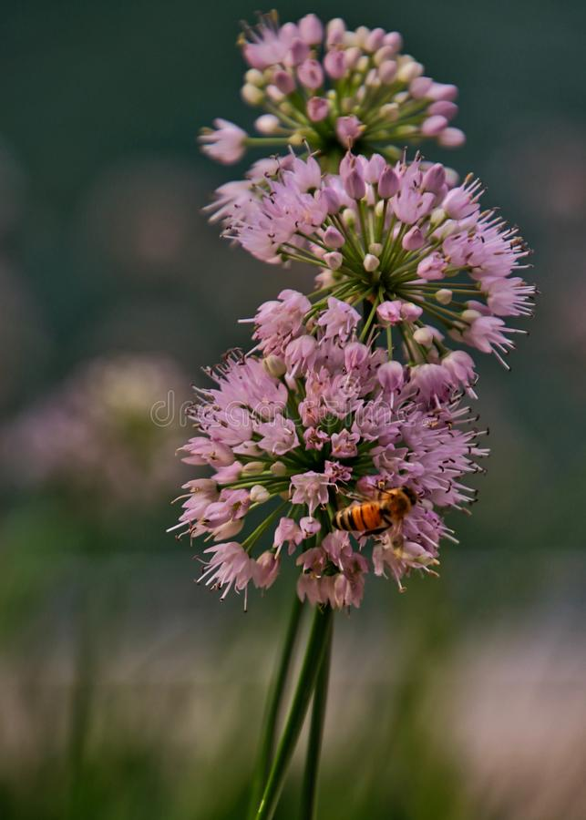 L'abeille pollinisant la ciboulette triple fleurit dans la fin vers le haut de la vue photos stock