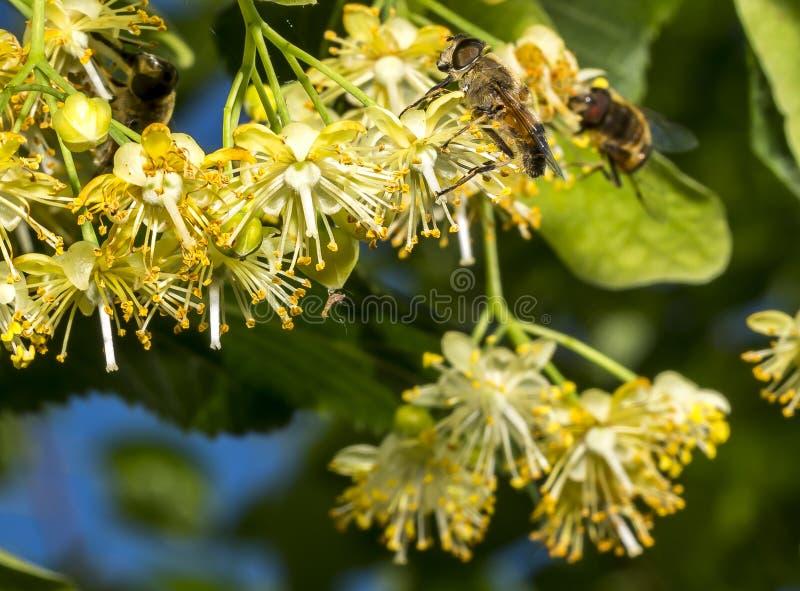 L'abeille pollinise les fleurs de tilleul photos libres de droits