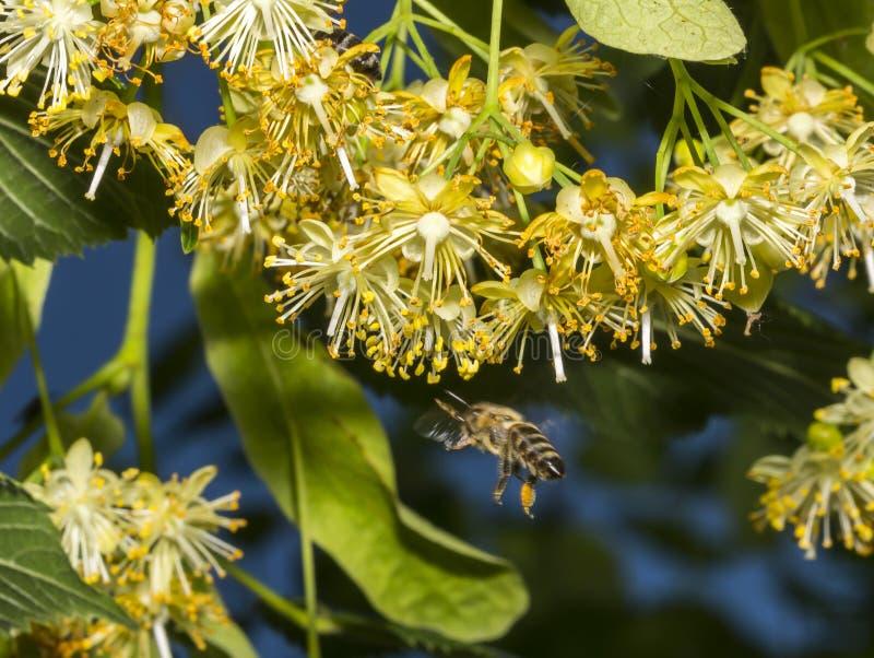 L'abeille pollinise les fleurs de tilleul images libres de droits