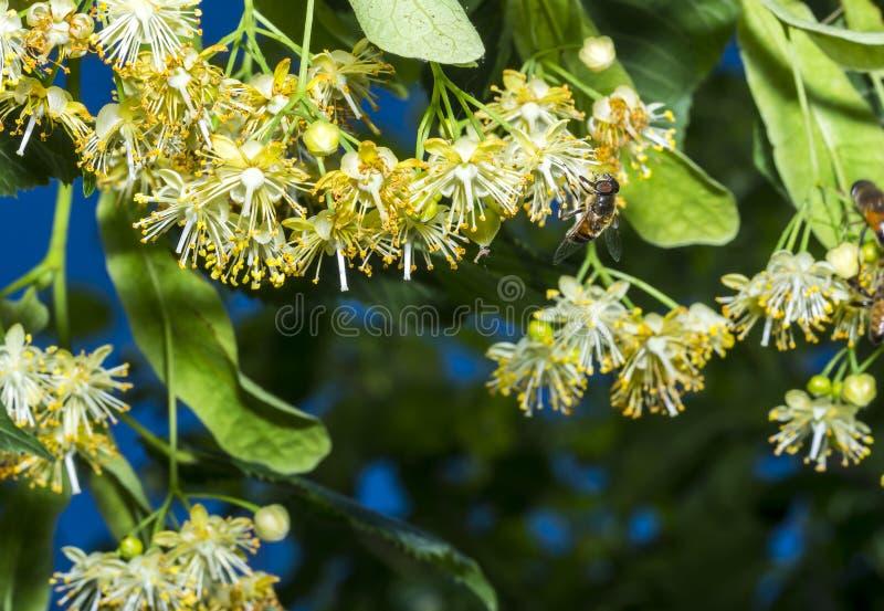 L'abeille pollinise les fleurs de tilleul image libre de droits