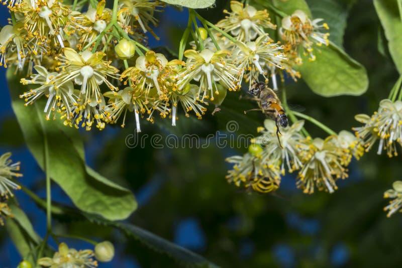 L'abeille pollinise les fleurs de tilleul photographie stock libre de droits