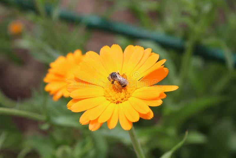L'abeille pollinise une fleur images libres de droits