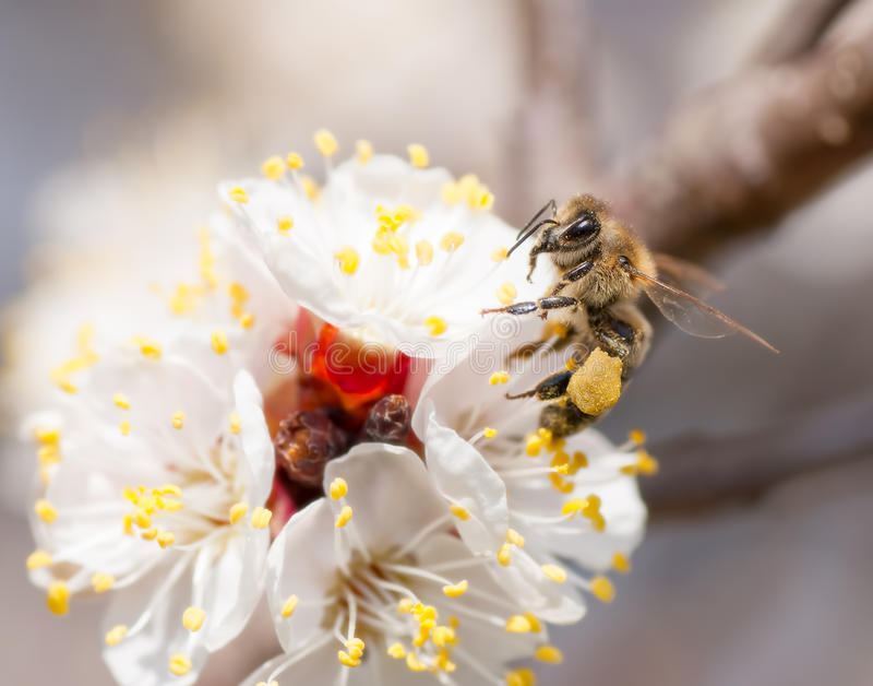 L'abeille rassemble le miel sur une fleur photographie stock