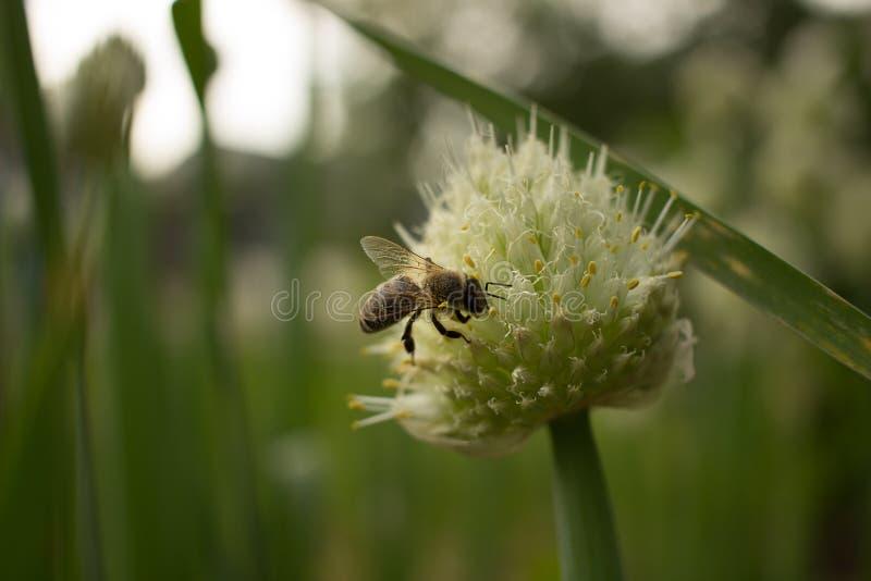 L'abeille rassemble le nectar des oignons fleurissants images libres de droits