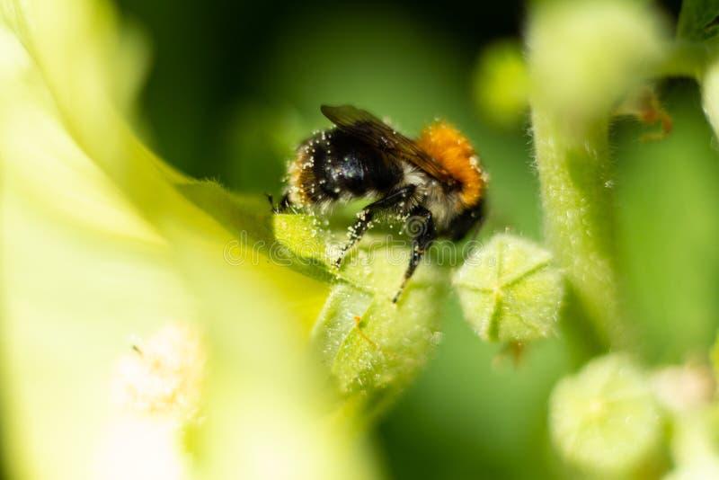 L'abeille rassemble le nectar sur une fleur de floraison photographie stock