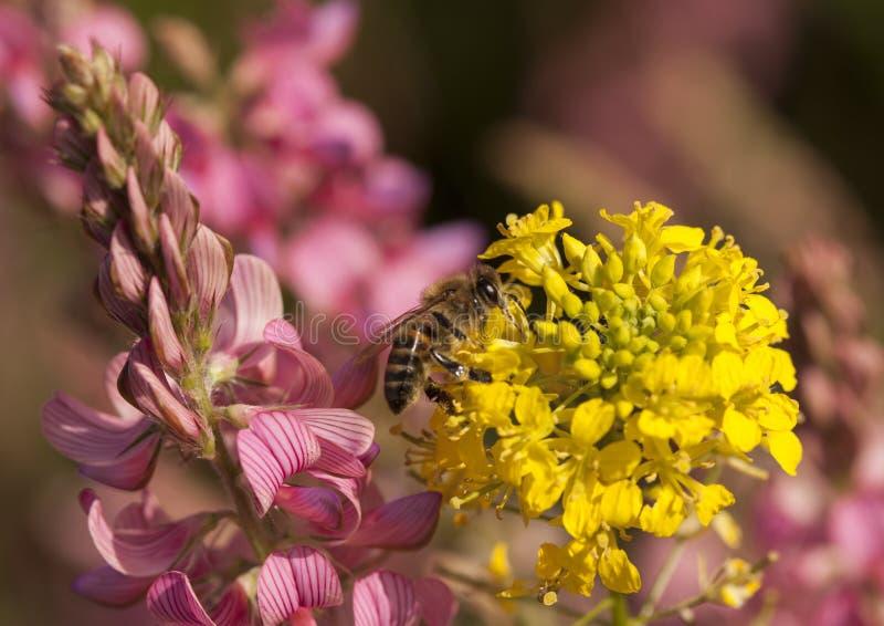 L'abeille rassemble le pollen photo stock