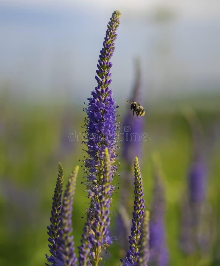 L'abeille rassemble le pollen photos libres de droits