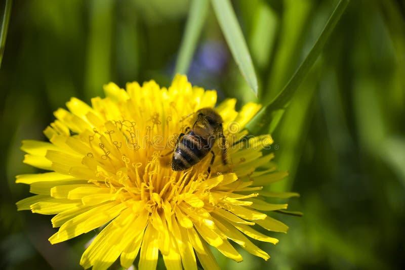 L'abeille rassemble nectaring sur la fleur jaune de pissenlit photo libre de droits