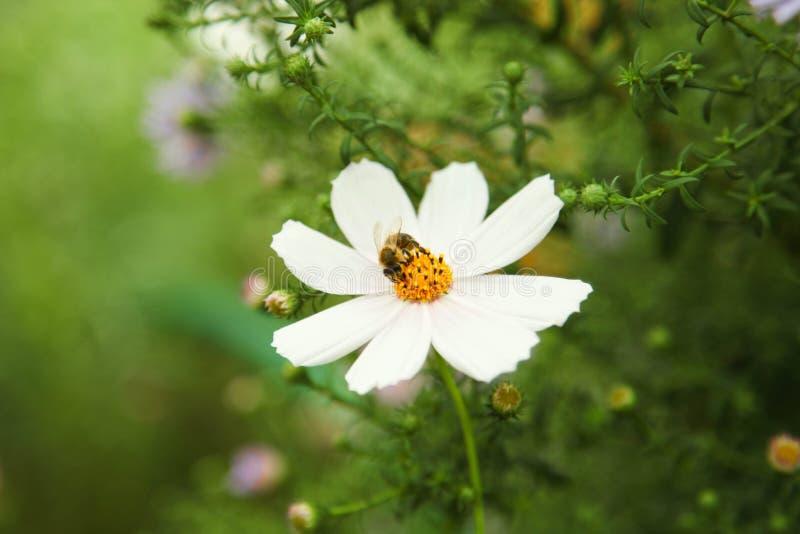 L'abeille se repose sur la camomille photo libre de droits