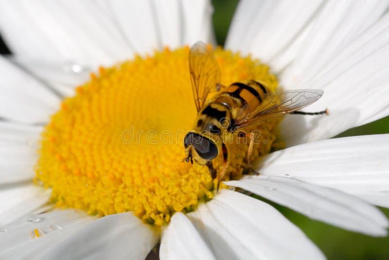 L'abeille se repose sur une fleur de camomille au soleil images stock