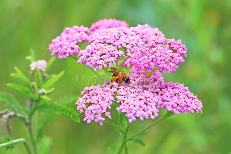 L'abeille se repose sur une fleur de millefeuille images stock