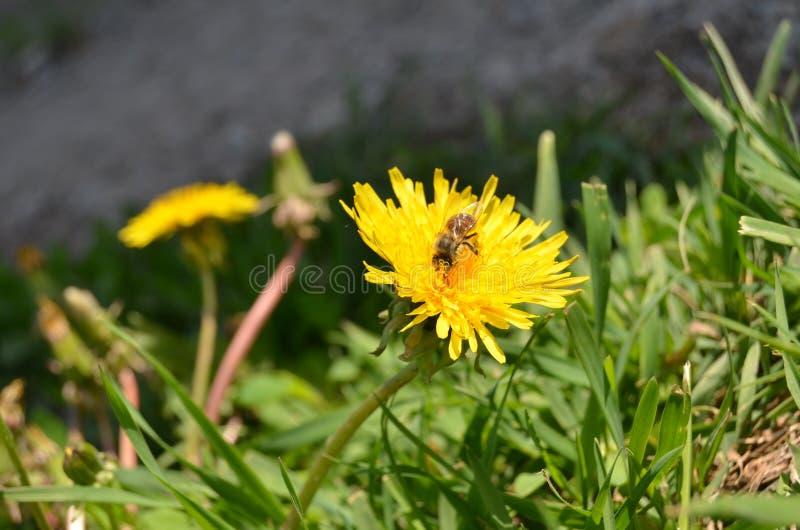 L'abeille se reposent sur le pissenlit images libres de droits