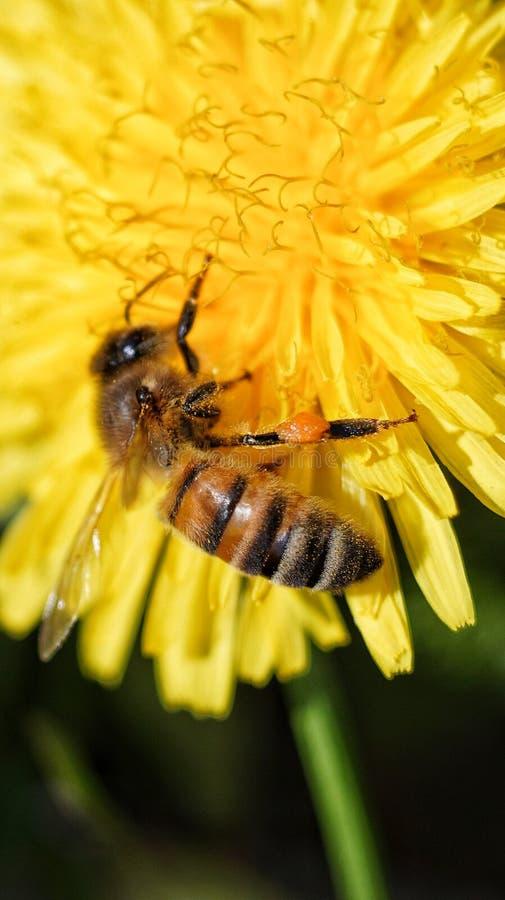 L'abeille suce le nectar dans un pissenlit photo libre de droits