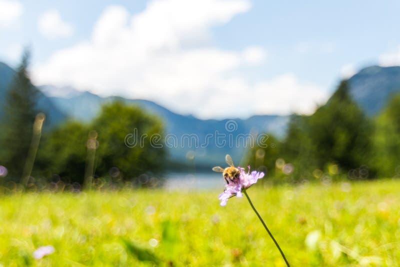 L'abeille sur la fleur près du lac Bohinj Pré vert frais, alpes de la Slovénie à l'arrière-plan images stock