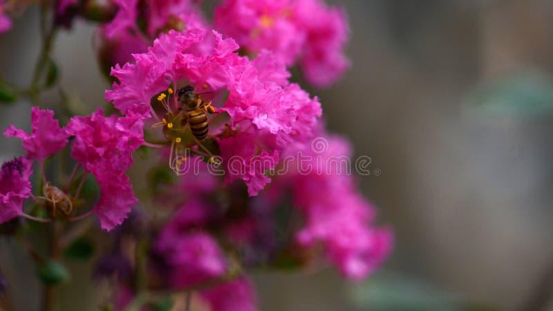 L'abeille trouvent le miel sur des fleurs de myrte de crêpe photo stock