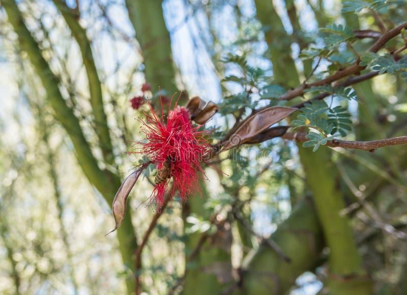 L'abeille visite l'acacia rouge de fleur, Tucson, AZ photographie stock libre de droits
