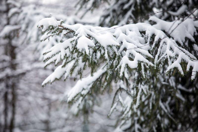L'abete si ramifica nella neve nella foresta nell'inverno immagini stock