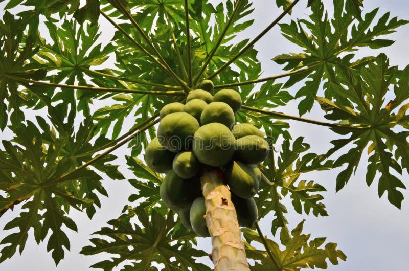 L'abondance de la papaye verte porte des fruits sur le dessus image libre de droits