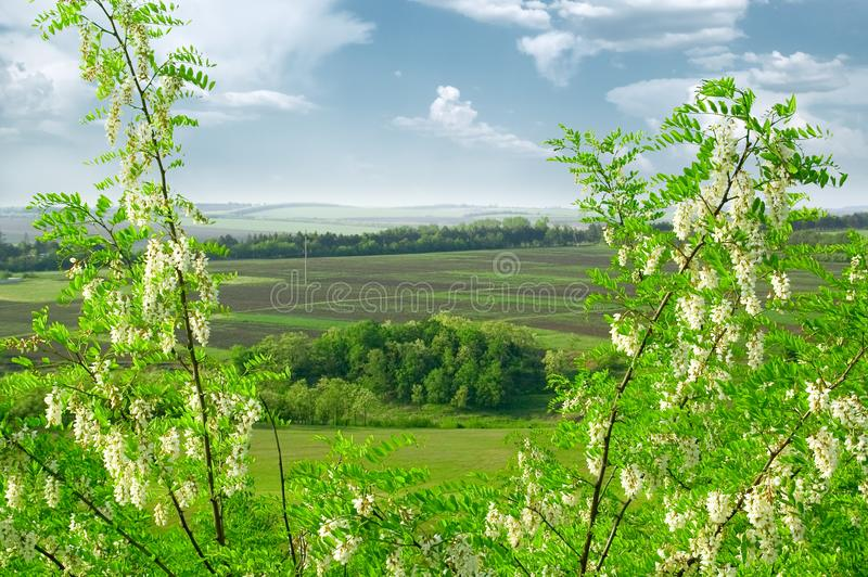 L'acacia bianca. fotografie stock