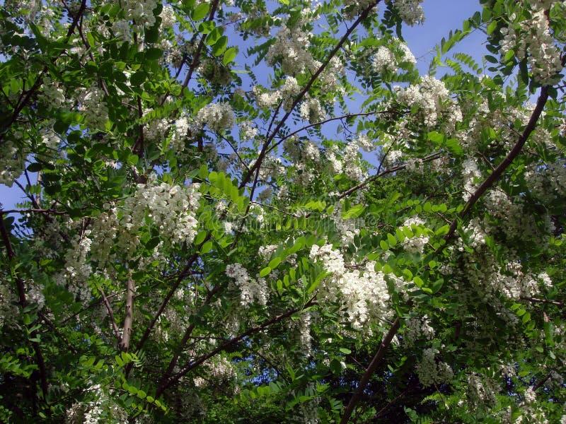 L'acacia blanc fleurit sur un ciel bleu de fond photographie stock