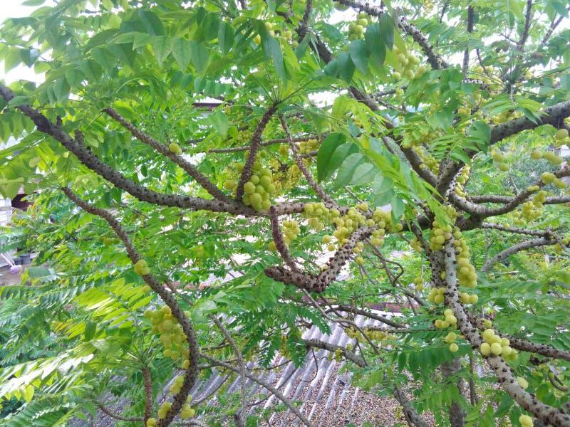 L'acdius de Phyllanthus est le Sri Lanka image libre de droits
