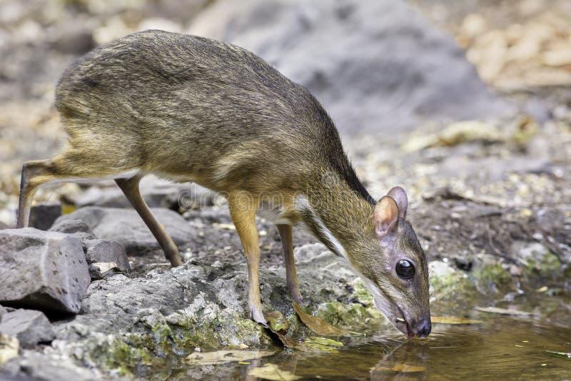 L'acqua potabile dei cervi di topo in piccolo stagno immagini stock libere da diritti