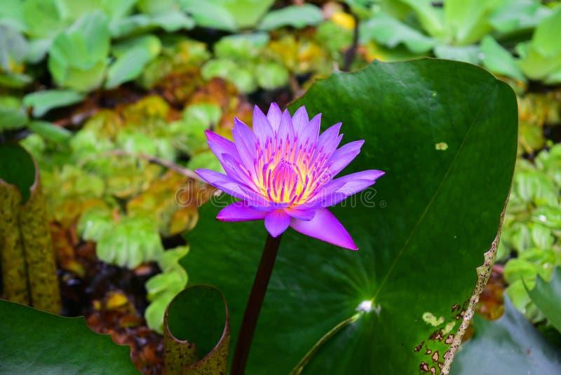 L'acqua splendida lilly fotografia stock