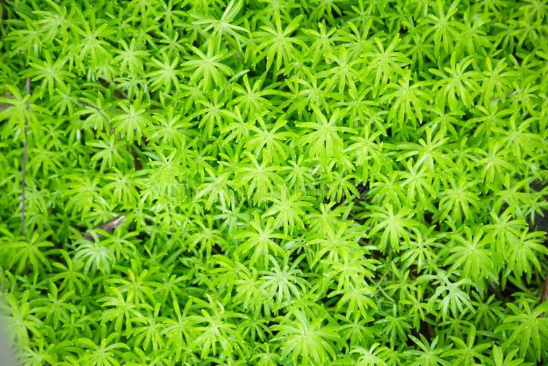 L'acre de sedum de Goldmoss ou de sedum d'orpin de goldmoss, poussent des feuilles les usines fleurissantes succulentes avec le f image stock