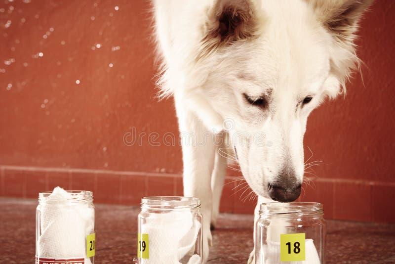 L'addestramento dell'identificazione dell'odore umano rintraccia dal cane poliziotto su posizione fotografia stock libera da diritti