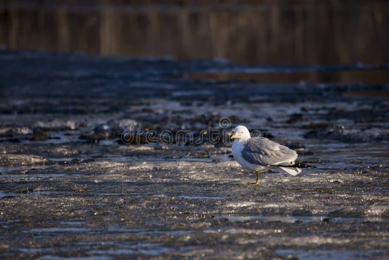L'adulte anneau-a affiché la position de mouette sur la correction de glace au soleil pendant un matin tôt de ressort photographie stock libre de droits
