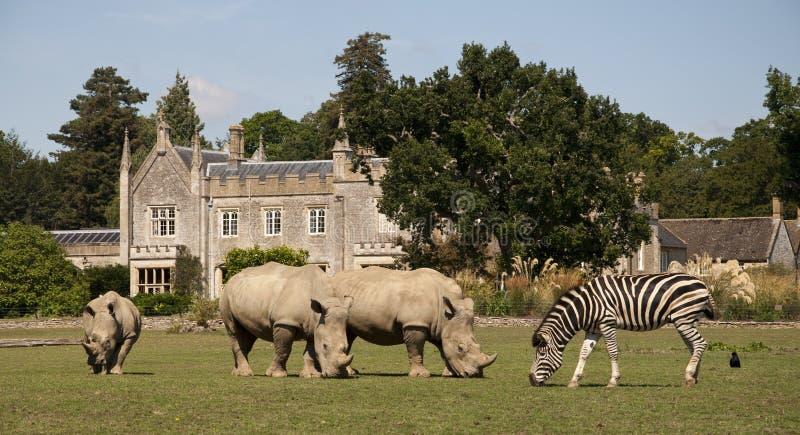 l'Afrique dans le rhinocéros et le zèbre de Cotswolds- photos stock