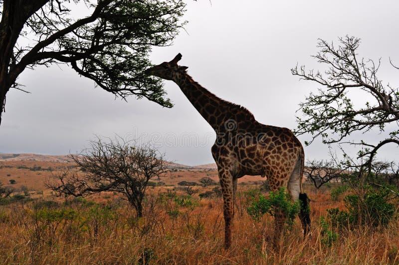 L'Afrique du Sud, réservation de jeu de Hluhluwe Imfolozi, Kwazulu Natal photographie stock