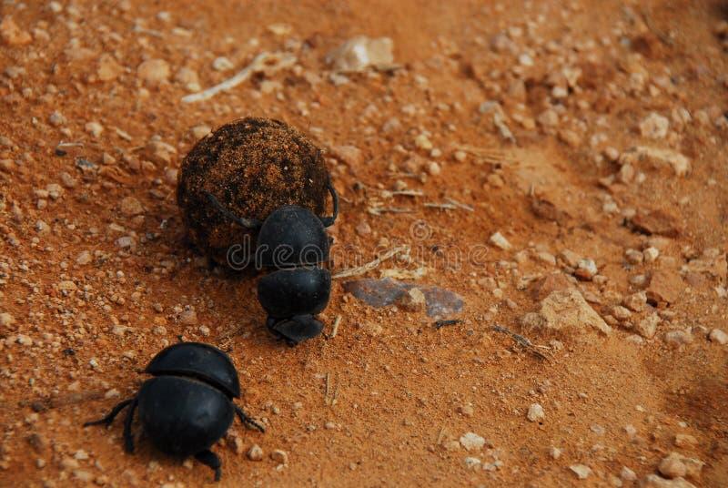 L'Afrique ferment de Dung Beetles Rolling une boule de Dung photo stock