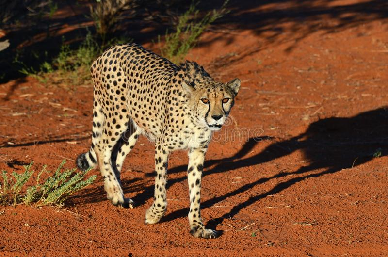 l'afrique namibia cheetah photographie stock