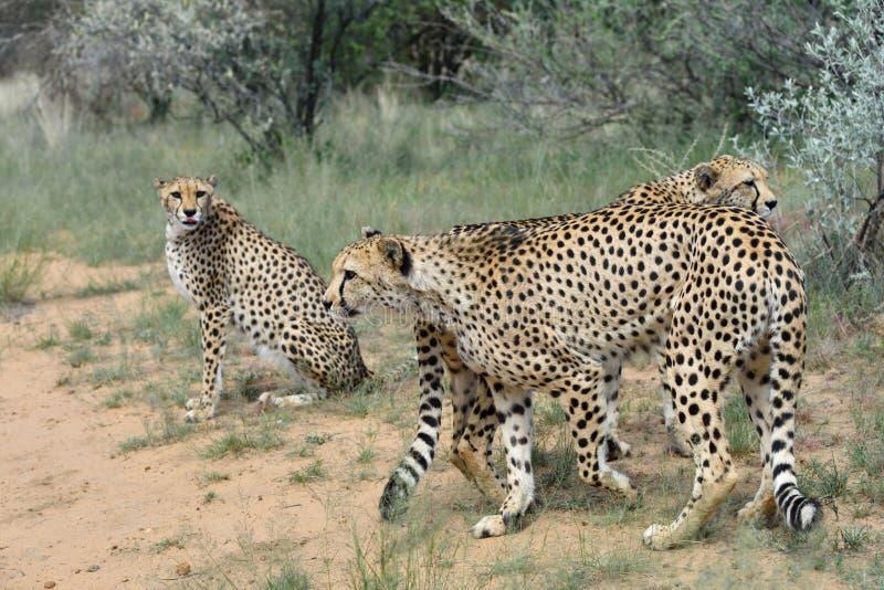 l'afrique namibia cheetahs photo stock
