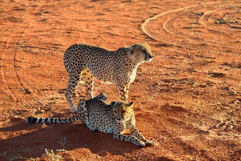 l'afrique namibia cheetahs image libre de droits