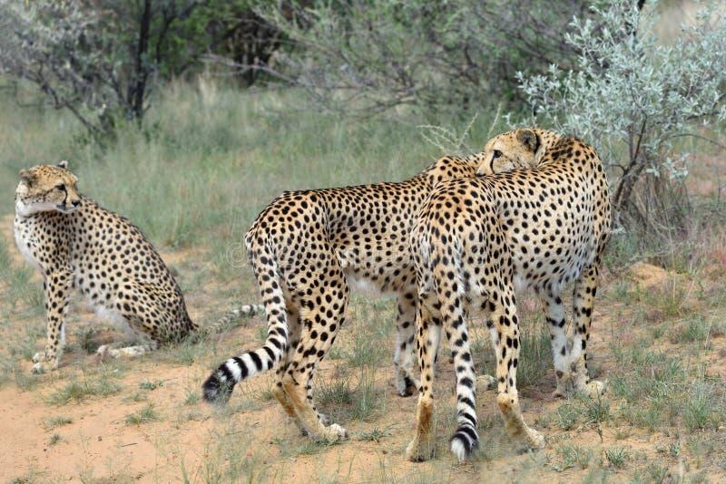 l'afrique namibia cheetahs images stock