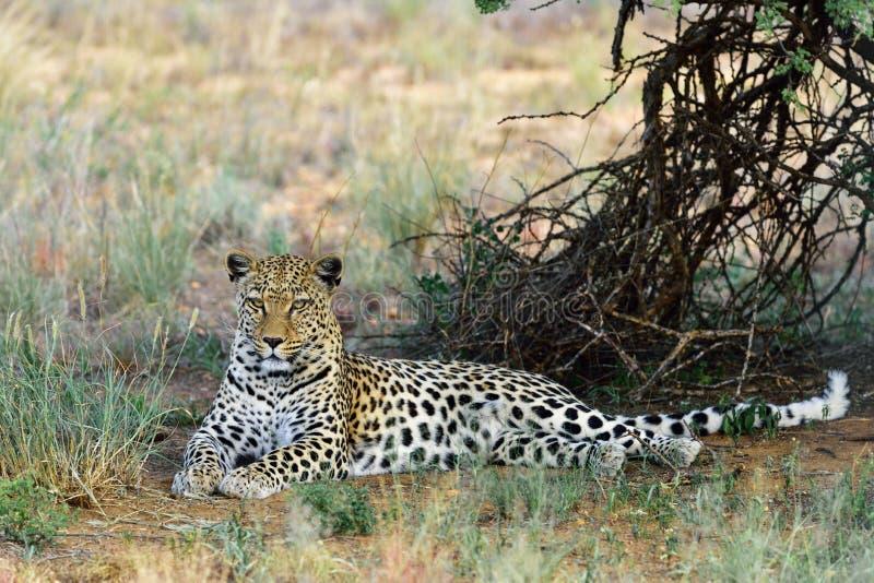 l'afrique namibia Léopard photographie stock libre de droits