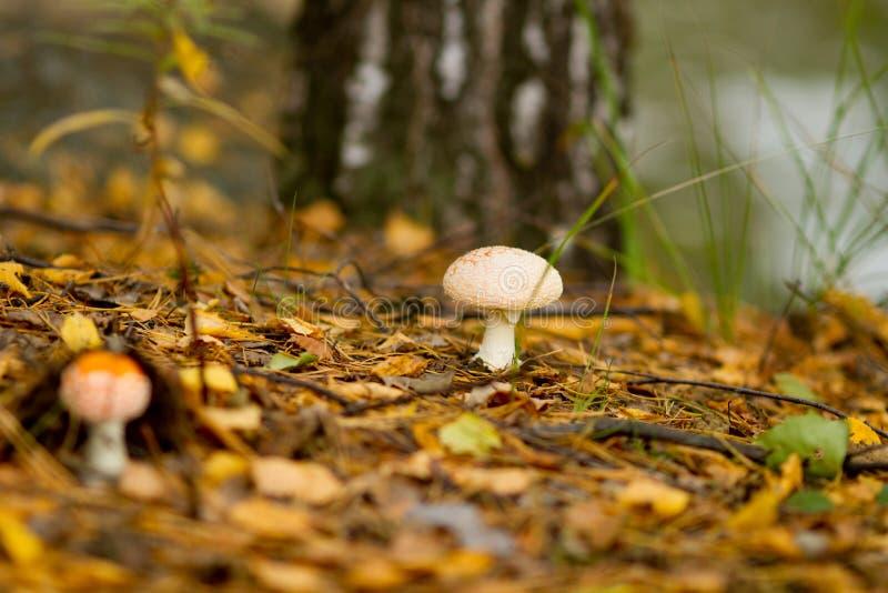 L'agarique volante pousse sur le sol de la forêt parmi les feuilles sèches tombées dans l'automne ensoleillé jour d'octobre images libres de droits