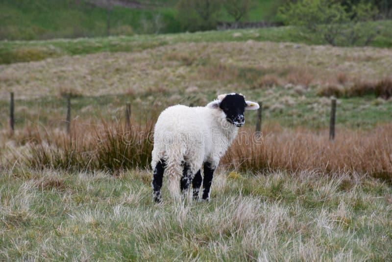L'agnello affrontato nero adorabile di Swaledale sul attracca fotografie stock
