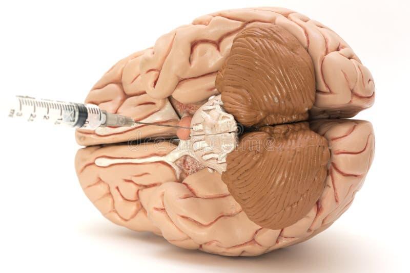 L'ago, la siringa ed il cervello umano modellano su fondo bianco immagine stock libera da diritti