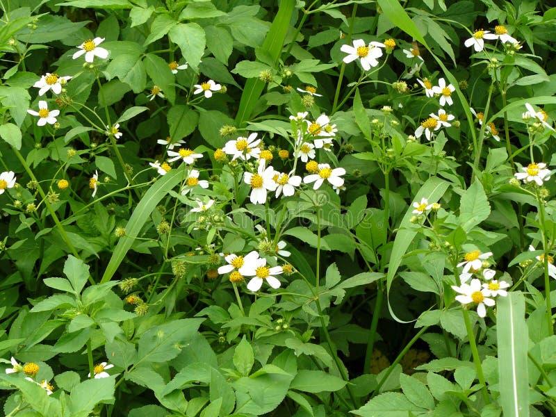 L'ago spagnolo dei piccoli fiori bianchi fotografia stock
